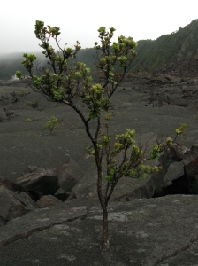 Tree growing out of lava!